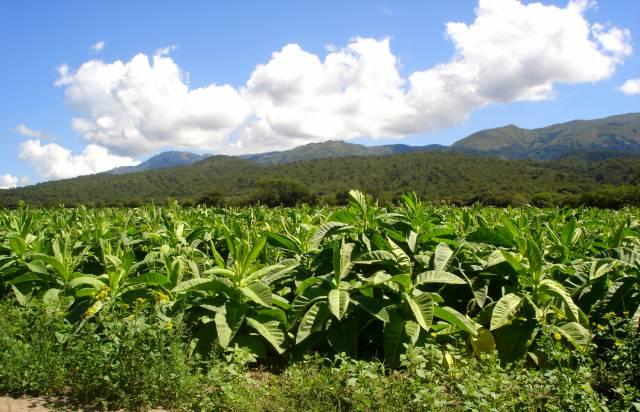 Tabako auginimas